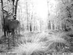 Infrared deer capture